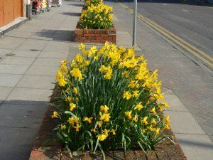 Daffodils 12