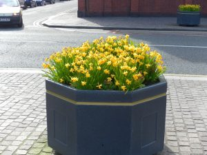 Daffodils 13