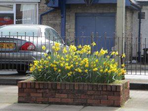 Daffodils 9
